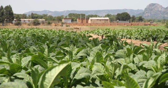 A tobacco field in Zimbabwe. Photo: Zimbabwe Tobacco Association