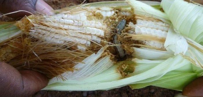 Fall armyworm eating through corn. Photo: CABI