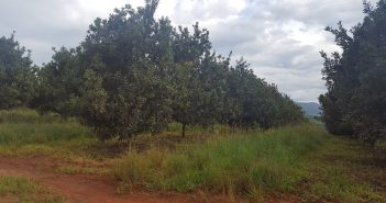 Valley of Macs' macadamia trees in Manica, central Mozambique. Photo © José Jeco / Zitamar News