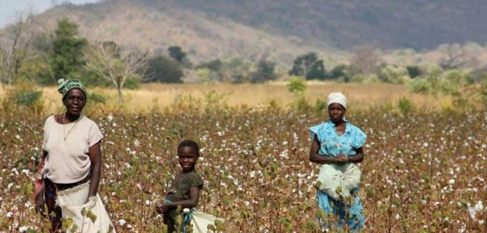 Cotton pickers on the Mozambique-Zimbabwe border. Photo: HALO Trust