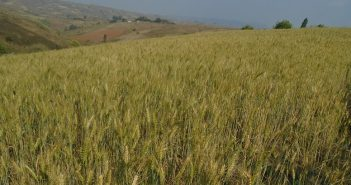 A wheat field in Tsangano, Tete. Photo © Fungai Caetano / Zitamar News
