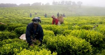Tea production in Gurúè. Photo: Gurúè district administration