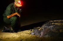 Ponta do Ouro Partial Marine Reserve warden Miguel Gonçalves with a leatherback turtle. Photo: http://www.peaceparks.org
