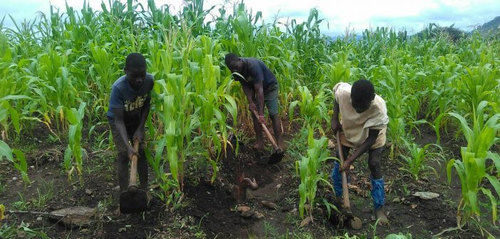 Young men farming in Nkondezi, Tete province, in January 2019. Photo © Fungai Caetano / Zitamar News