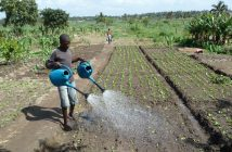 Watering vegetable seedlings in Maputo. Photo: Remi Kahane, GlobalHort (via Flickr)